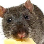 rat with cheese